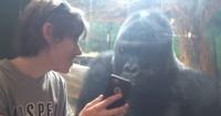 Mira la increíble reacción de este gorila al ver otros gorilas en un smartphone