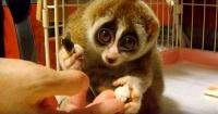 Este es el animal más adorable que puedes haber visto en tu vida