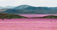El desierto más seco del mundo se ha transformado en un paraíso de flores rosadas
