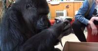 Gorila cuida a unos gatitos recién nacidos como si fueran sus hijos