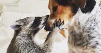 Este mapache tiene un serio problema de identidad: se cree perro
