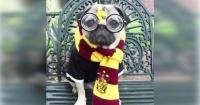 La historia de Doug, el perro pug más cómico de Internet