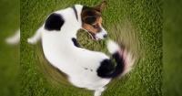 Esto es lo que todo amante de los perros debe saber: ¿Por qué los perros giran antes de acostarse?