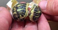 VIDEO: El maravilloso momento en que nacen estas 2 tortugas gemelas