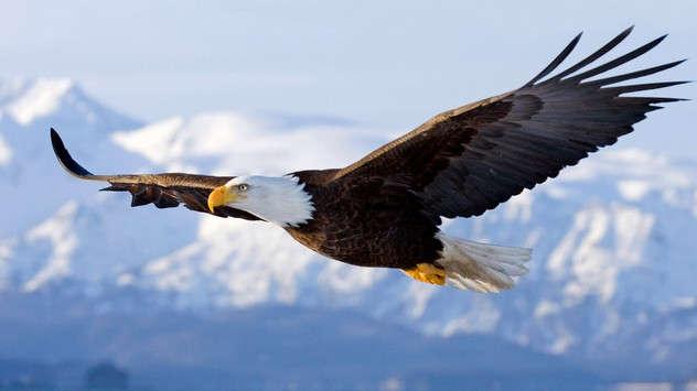 Esta es el Águila Calva Americana