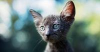 Lykoi: los gatos que parecen lobos y se comportan como perros