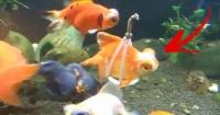 Su pez no podía nadar bien y el dueño lo resolvió haciéndole una silla de ruedas