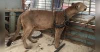 Este puma pasó 20 años encadenado a un camión de circo y por fin logró su libertad