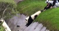 VIDEO: Este adorable panda bebé sólo quiere jugar
