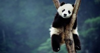 Si quieres cambiar de trabajo: China contrata gente para abrazar pandas