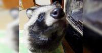 Tanu, el curioso perro mapache que se ganó el corazón de la web
