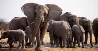 VIDEO: Los elefantes son unos de los pocos mamíferos que tienen abuelas y su rol es sorprendente