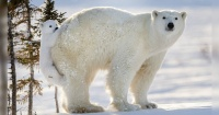 Esperó 117 horas para sacar la foto perfecta de estos osos polares y este es el resultado
