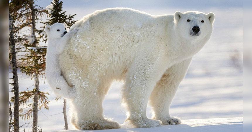 portada-osopolar