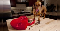 Esta es la razón científica de por qué no debes darle chocolate a tu perro