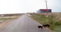 Este perro salva a su compañero de ser atropellado de una manera increíble