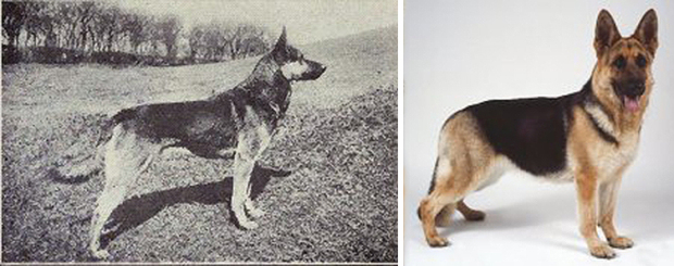 How humans have changed dogs: The incredible pictures that show how 100 years of breeding has changed canines