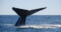 El canto de esta ballena tiene realmente desconcertados a los científicos