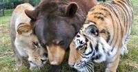 Un oso, un tigre y una leona crecieron juntos y hoy son amigos inseparables