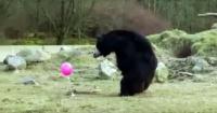 Estos osos que nunca antes habían visto un globo y así fue su divertida reacción