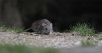 Hombre encuentra rata del tamaño de un perro y causa impacto en la web