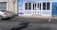 Esta cómica foca cruza la carretera para visitar una tienda de mariscos todos los días