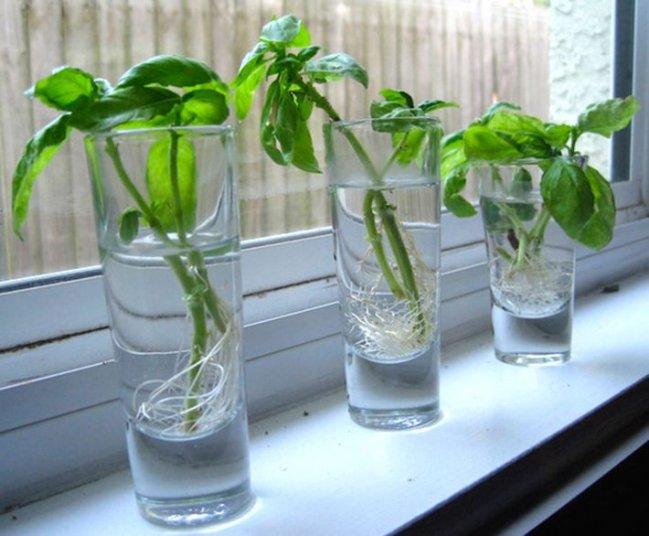 Albahaca en vasos de vidrio
