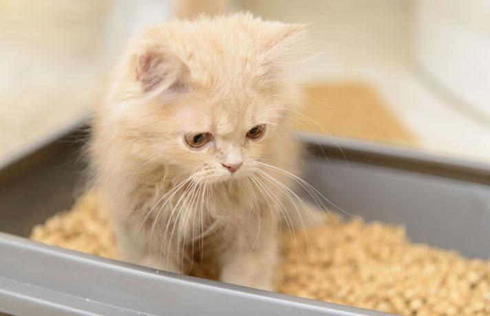 Gato mirando desde su caja de arena