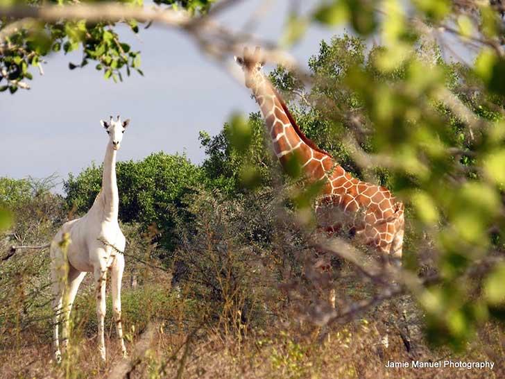 Jirafa blanca junto a otras jirafas