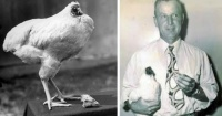 Increíble: La historia del que pollo vivió 18 meses sin cabeza