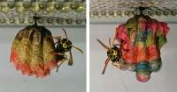 Le dio papeles de colores a una colonia de avispas y descubrió algo realmente bello
