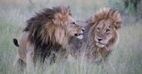 """La foto de los """"leones homosexuales"""" que genera controversia en las redes sociales"""