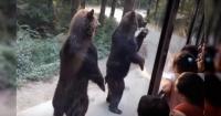 Dos osos sorprenden a un autobús de turistas con su gracioso talento