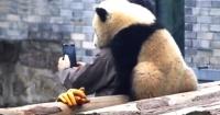 Este es Manyuemei, el panda gigante que se saca selfies con su cuidador