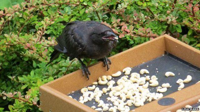 Cuervo comiendo