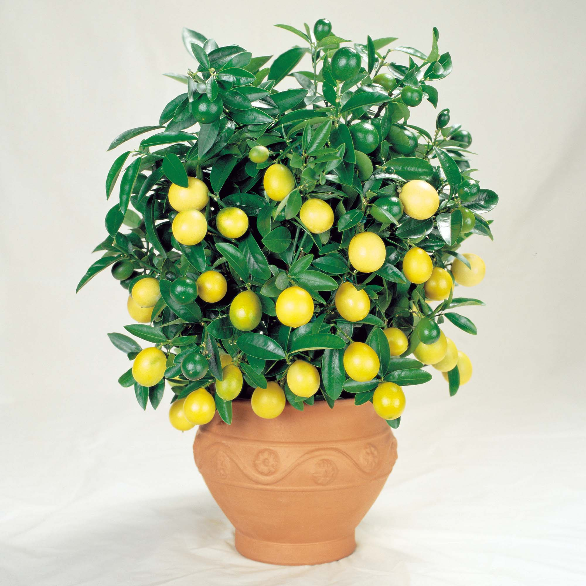 Sab as que puedes plantar estas frutas en tu casa sin necesitad de tener un jard n - Plantar limonero en maceta ...