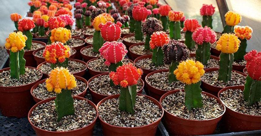 portada-cactus