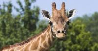 ¿Por qué tienen el cuello tan largo las jirafas?