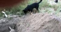 El emocionante momento en que un perro entierra a su amigo que fue envenenado