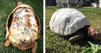 Perdió su caparazón en un gran incendio y así es como le salvaron la vida a esta tortuga