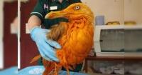 El insólito motivo por el que esta gaviota quedo totalmente teñida de naranjo
