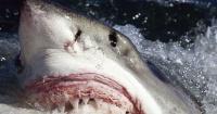 La dramática razón por la que nunca verás a un tiburón blanco en un acuario