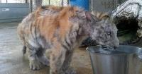 Esta tigresa pesaba solo 13 kilos hasta que fue rescatada de un circo