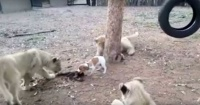David contra Goliat: valiente cachorro se defiende de tres leones que quieren su comida