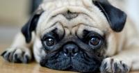 Cuando compras un pug o un bulldog ayudas a que continúe el sufrimiento animal