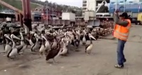 La graciosa coreografía de estos pelícanos de la que todos se ríen