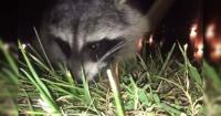 Un mapache le robó el celular al joven que lo grababa y filmó su propio video