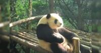 Este panda sorprendió a todos al hacer algo que la mayoría de las personas evita