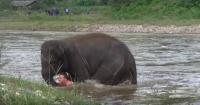 Valiente elefante se lanza a un río para salvar la vida de su cuidador