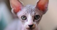 Pagó 700 dólares por gato esfinge pero luego vio que era solo un gato callejero rapado